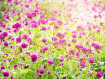 Het roze gebied van de Amarantbloem Royalty-vrije Stock Fotografie