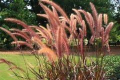 Het roze gras van de Fontein stock foto's
