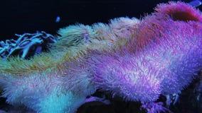 Het roze Heliofungia-koraal van de actiniformis korte tentakel stock videobeelden