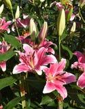Het roze lilly Stock Foto's