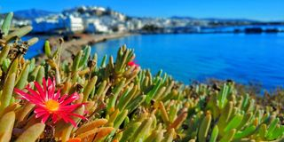 Het roze madeliefje gluurt door om de zon in een Griekse eilandbaai omhoog te doorweken stock foto's