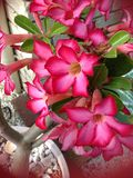 Het roze is mooi Royalty-vrije Stock Fotografie