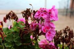 Het roze Ooievaarsbek bloeien en droge bloem behandeld in regendruppels Stock Foto