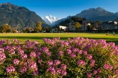 Het roze park van Hohematte van het bloemen groene gebied en Zwitserse alpen in Interlaken, Zwitserland royalty-vrije stock fotografie