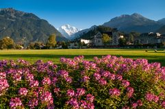Het roze park van Hohematte van het bloemen groene gebied en Zwitserse alpen in Interlaken, Zwitserland royalty-vrije stock foto