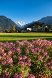 Het roze park van Hohematte van het bloemen groene gebied en Zwitserse alpen in Interlaken, Zwitserland stock fotografie