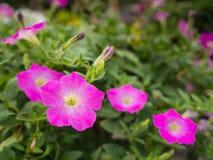 Het roze Petuniabloemen Hangen stock afbeeldingen