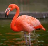 Het roze portret van de flamingovogel stock afbeeldingen