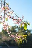 Het roze Sakura-bloem bloeien Royalty-vrije Stock Afbeelding