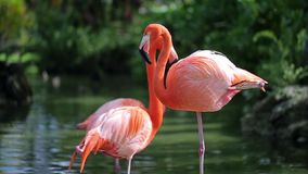 Het roze schot van de flamingoclose-up stock video