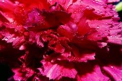 Het roze van de anjer Royalty-vrije Stock Foto