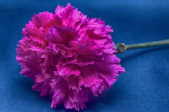Het roze van de anjer Royalty-vrije Stock Afbeeldingen