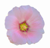 Het roze van de bloembloei Royalty-vrije Stock Afbeeldingen