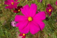Het roze van de kosmosbloem Stock Foto