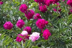 het roze van de pioenbloem Stock Foto's