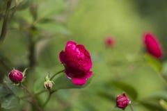 Het roze van struikrozen op groene vage achtergrond Stock Foto