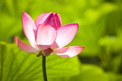 Het roze water bloeit lilly Royalty-vrije Stock Fotografie