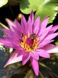 Het roze water van de de bijenlelie van het lotusbloeminsect stock foto