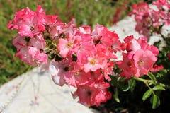 Het roze witte bloemen bloeien Stock Afbeeldingen