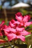 Het roze woestijn-nam met gouden toe bestrooit op een zonnige dag royalty-vrije stock foto's