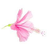 Het roze zachte hoofd van de Hibiscusbloem is geïsoleerd op witte achtergrond, Stock Foto's