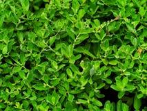 Het rozehout van Nieuw-Guinea, Filippijnse mahonie of Pterocarpus-indicus Stock Foto's