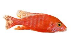 Het rozerode van het aquariumvissen van pauw cichlid Aulonocara Meer Malawi stock afbeelding