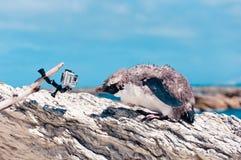 Het ruien geel-Eyed Pinguïn en de camera bij Kaikoura-oceaan binnen Royalty-vrije Stock Afbeelding