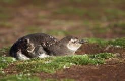 Het ruien jeugdmagellanic pinguïn die op de grond liggen royalty-vrije stock foto's