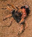 Het ruien van de tarantula stock afbeelding