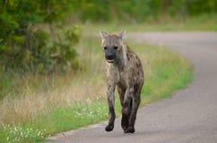 Het runnen van bevlekte hyena (Crocuta-crocuta) Royalty-vrije Stock Foto