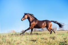 Het runnen van de donkere hengst van de baai sportieve Welse poney bij vrijheid stock afbeelding
