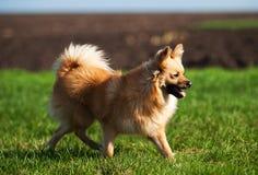 Het runnen van een kleine hond Stock Afbeeldingen