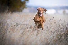 Het runnen van grappige jagershond in de herfst Stock Fotografie