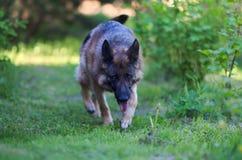 Het runnen van mooie Jonge Bruine Duitse herder Dog Close Up royalty-vrije stock foto's