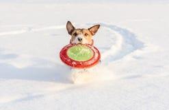 Het runnen van spel van de hond het speelhaal met vliegende schijf op sneeuwachtergrond Stock Afbeelding