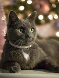 Het Russische blauwe kat stellen voor een Kerstmisportret royalty-vrije stock foto