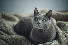 Het Russische Blauwe Portret van de Kat stock foto