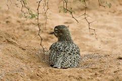 Het rusten Berhinus Capensus Vogel royalty-vrije stock afbeelding