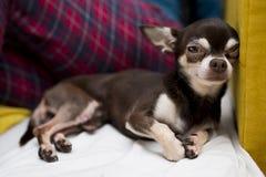 Het rusten chihuahua Stock Fotografie
