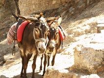 Het rusten ezels Royalty-vrije Stock Afbeelding