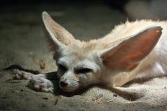 Het rusten fennec vos Royalty-vrije Stock Foto's