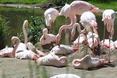 Het rusten Flamingo Royalty-vrije Stock Foto's