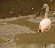 Het rusten Flamingo Stock Fotografie