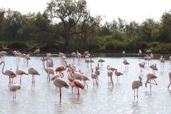 Het rusten flamingo's in Camargue, Frankrijk Royalty-vrije Stock Foto's