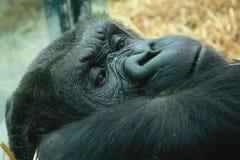Het rusten Gorilla Royalty-vrije Stock Afbeelding