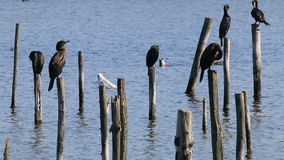 Het rusten grote aalscholvers in de Reserve van Le Teich Bird, Frankrijk stock footage