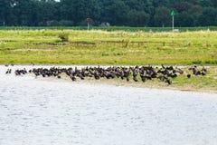 Het rusten grote aalscholvers, Rammelwaard, Holland Royalty-vrije Stock Foto