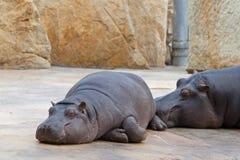 Het rusten hippo Stock Foto's