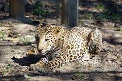 Het rusten Jaguar stock afbeeldingen
